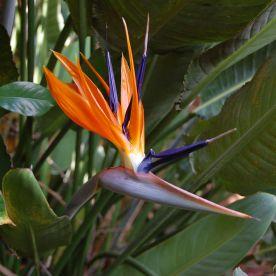 birdofparadise1